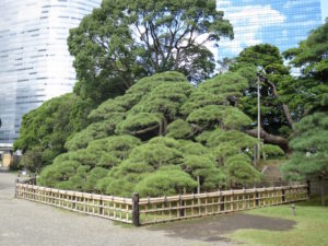 300 years old pine