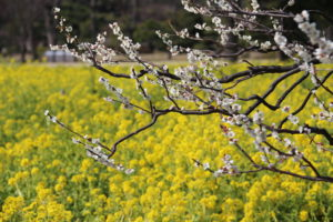 "The flowers of ""Ume"" the plum, and ""Nano Hana"" the rape flower."