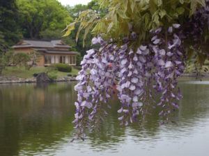 "The flower of ""Fuji"" the wisteria."